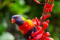 Pássaro de Lorikeet do arco-íris com a flor vermelha bonita na árvore no jardim de Sydney Botanic foto de stock royalty free