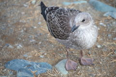 Pássaro de mar Imagem de Stock Royalty Free
