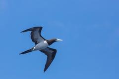Pássaro de mar do voo Fotos de Stock