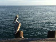 Pássaro de mar em Califórnia imagens de stock