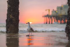 Pássaro de mar que obstrui Santa Monica Sunset Fotos de Stock