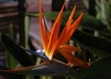 Pássaro de Maui de paraíso fotos de stock royalty free