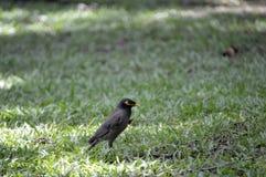 Pássaro de Myna fotografia de stock