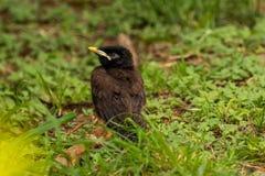 Pássaro de myna comum do bebê Fotografia de Stock Royalty Free