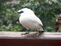 Pássaro de myna de Bali imagem de stock royalty free