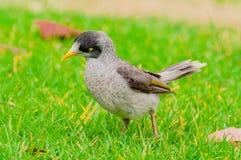 Pássaro de Myna do indiano no gramado verde Fotos de Stock Royalty Free