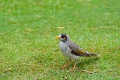 Pássaro de Myna do indiano no gramado verde Fotos de Stock