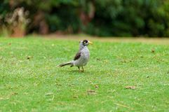 Pássaro de Myna do indiano no gramado verde Imagem de Stock Royalty Free
