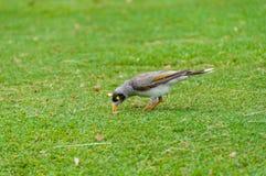 Pássaro de Myna do indiano no gramado verde Fotografia de Stock Royalty Free