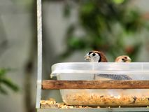 Pássaro de Owl Finch dentro da bacia do alimento no aviário em Florida Foto de Stock
