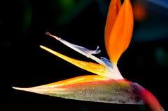 Pássaro de paraíso Imagem de Stock