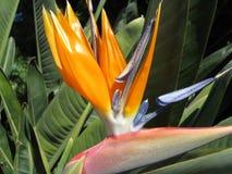 Pássaro de paraíso Foto de Stock Royalty Free