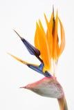 Pássaro de paraíso Imagem de Stock Royalty Free
