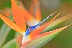 Pássaro de paraíso Imagens de Stock