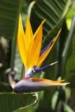 Pássaro de paraíso Foto de Stock