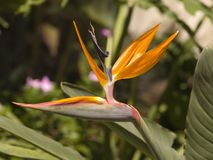 Pássaro de paraíso Fotos de Stock