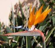 Pássaro de paraíso fotografia de stock royalty free