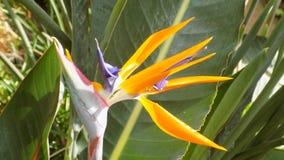 Pássaro de paraíso flor-Andaluzia-Europa Fotografia de Stock Royalty Free