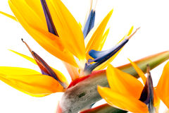 Pássaro de paraíso no fundo branco Imagens de Stock