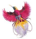 Pássaro de paraíso tropical mágico Ilustração azul, pássaro bonito da aquarela do voo colorido vermelho, magenta único ilustração do vetor