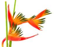 Pássaro de paraíso, uma flor tropical, isolada Imagens de Stock