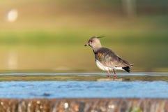 Pássaro de Quero Quero em refrigerar de água para baixo Fotografia de Stock