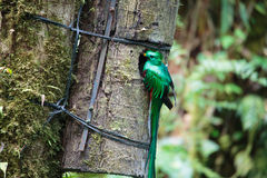 Pássaro de quetzal Monteverde selvagem Costa Rica Foto de Stock Royalty Free