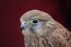 Pássaro de rapina Fotos de Stock