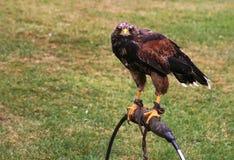 Pássaro de rapina Imagens de Stock