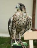 Pássaro de rapina Imagem de Stock
