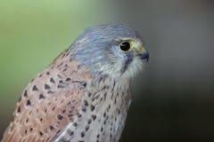 Pássaro de rapina Foto de Stock Royalty Free