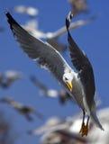 Pássaro de rapina Fotografia de Stock
