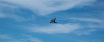 Pássaro de rapina em voo Imagens de Stock