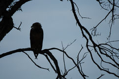 Pássaro de rapina empoleirado Fotografia de Stock Royalty Free