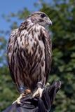 Pássaro de rapina empoleirado na mão Fotos de Stock Royalty Free