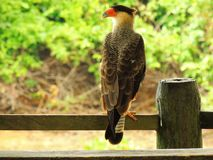 Pássaro de rapina - falcão fotografia de stock royalty free