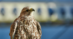Pássaro de rapina - francelho Imagens de Stock
