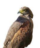 Pássaro de rapina - Harris Hawk isolado no branco Fotos de Stock Royalty Free