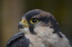 Pássaro de rapina, olhando agradável Fotografia de Stock
