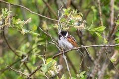 Pássaro de Reed Bunting imagens de stock