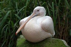 Pássaro de Rosa Pelican fotografia de stock royalty free