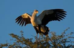 Pássaro de secretária Foto de Stock