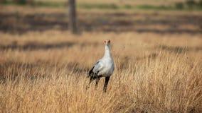 Pássaro de secretário ( Sagitário serpentarius) , Masai Mara foto de stock