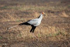 Pássaro de secretário ( Sagitário serpentarius) , Masai Mara imagem de stock royalty free