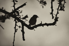 Pássaro de Smill do Sepia em Thorn Tree Silhouette foto de stock royalty free