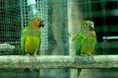 Pássaro de St Thomas Conure Foto de Stock Royalty Free