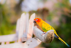 Pássaro de Sun Conure imagem de stock royalty free