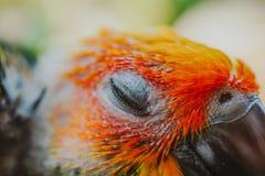Pássaro de Sun Conure do close up imagem de stock royalty free