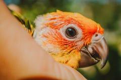 Pássaro de Sun Conure do close up imagem de stock