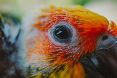 Pássaro de Sun Conure do close up fotografia de stock